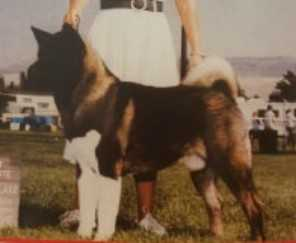 AKC CH Noji's The Count Crown Royal